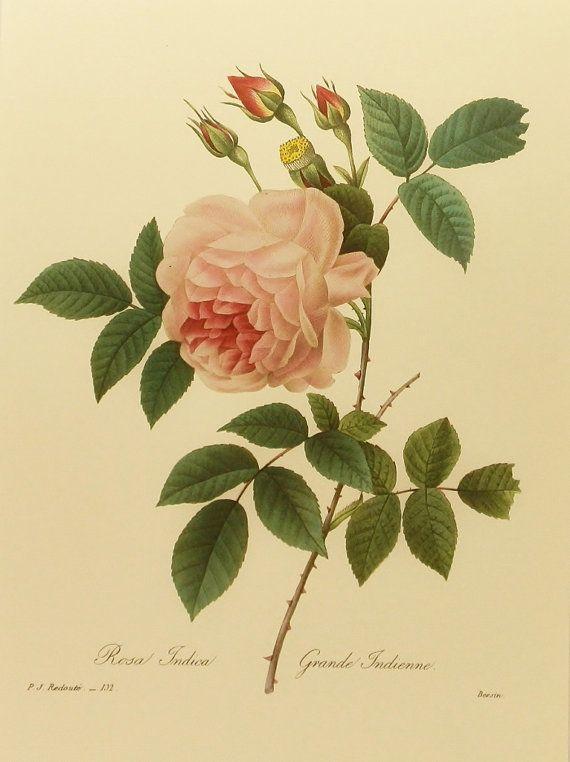 Botanical Print, Grande Indian Rose, Redoute Flower Print (Home Decor To Frame) No. 132 via Etsy
