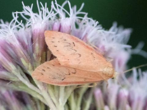 Miltochrista miniata: the rosy footman | The Nature of Dorset