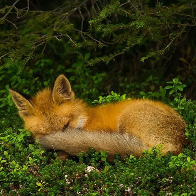 Tired  A sleeping red fox  #nikon #nikonambassador #bestnatureshot #nikonnordicambassador #discoverearth #marvelshots #ilovenorway #wwf #worldcaptures #master_pics #ic_animals #insta_global #animal #nasjonalparkriket #bbc #dovre #eXclusive_animals #fox #naturelovers #redfox #rødrev #nikon_usa #nikon_deutschland #nikon_uk #nikon_photography