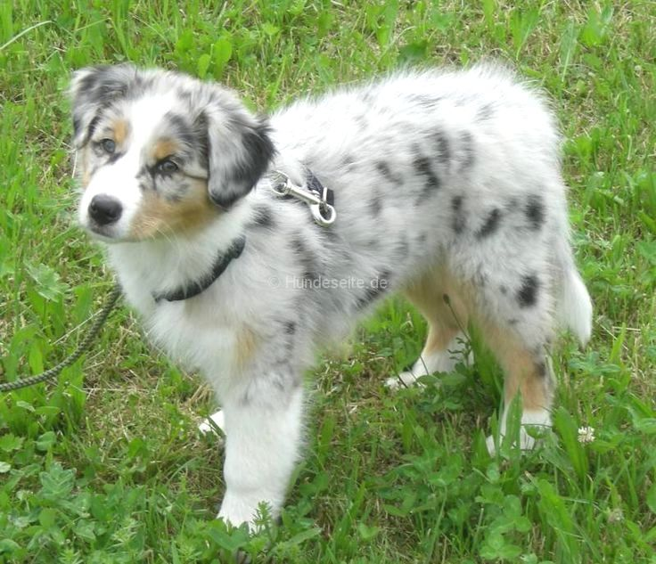 Pin By Cheryl S Smith On Australian Shepherd Australian Shepherd Dogs Australian Shepherd Aussie Dogs