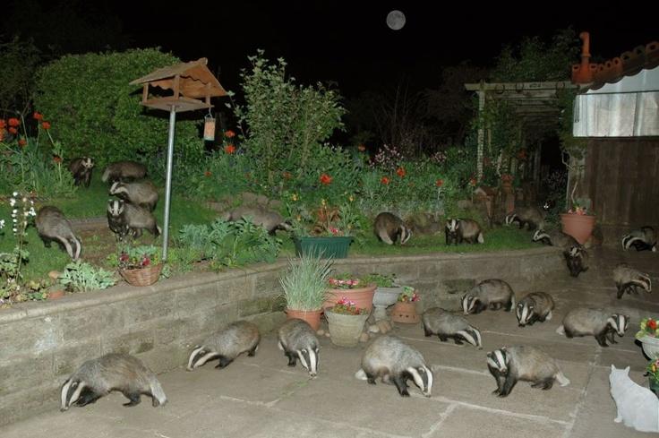 Mushroom. Mushroom.Common Room, Cat, Hufflepuff Common, Funny Stuff, Badger Badger, Harry Potter, Honey Badger, Mushrooms, Animal
