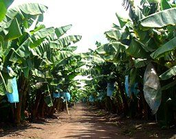 Cash Crop Farming Cash Crops- A crop produced for its commercial value rather than for use by the grower.