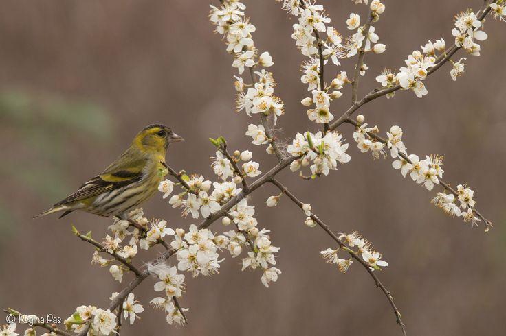 Siskin in spring