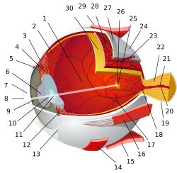 Eye-diagram no circles border.svg 1. vitreous body 2. ora serrata 3. ciliary muscle 4. ciliary zonules 5. Schlemm's canal 6. pupil 7. anterior chamber 8. cornea 9. iris 10. lens cortex 11. lens nucleus 12. ciliary process 13. conjunctiva 14. inferior oblique muscle 15. inferior rectus muscle 16. medial rectus muscle 17. retinal arteries and veins 18. optic disc 19. dura mater 20. central retinal artery 21. central retinal vein 22. optic nerve 23. vorticose vein 24. bulbar sheath 25. macula…