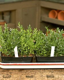 boxwood propagation- take cuttings between July-Oct. cuttings best taken from inside of the plant. cutting should be 4-5 inches long