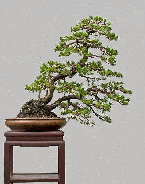 original bonsai tree bonsai with original bonsai tree