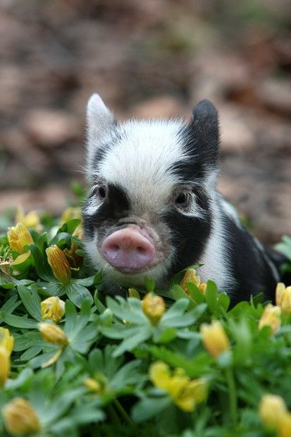 I know its not a puppy, but its a pot bellied pig- come on, how cute is that!