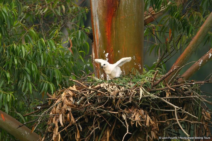 African Crowned Eagle chick