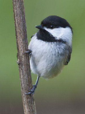 Black-Capped Chickadee - so cute!!  Been getting a lot of these on the swing.