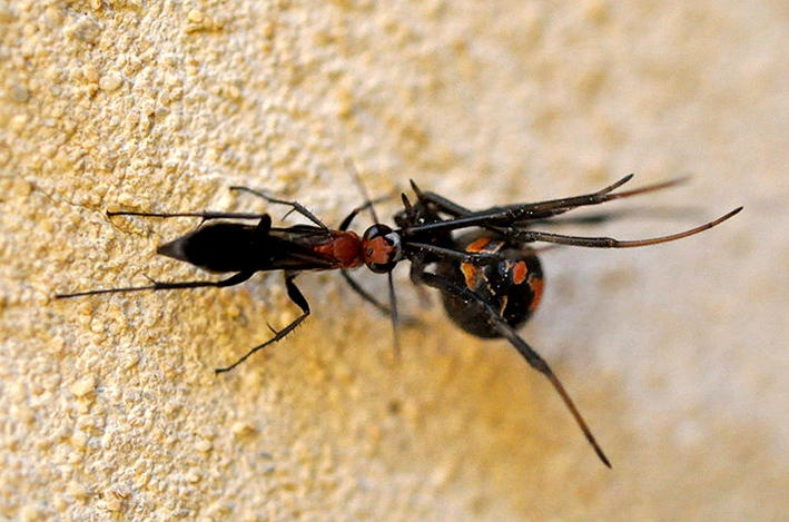 University of Adelaide researchers say a small wasp that scientists had forgotten about for more than 200 years is now making a name for itself -- as a predator of Australia's most common dangerous spider, the redback.