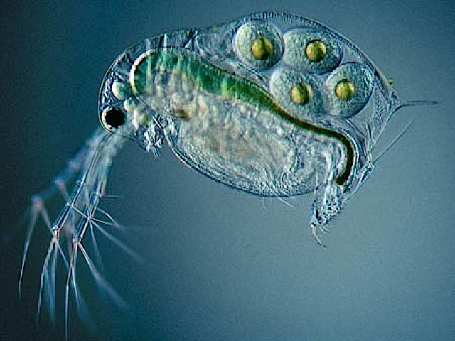 Fine Art From a Microscope: Pictures from the Micropolitan Museum - Daphnia pulex, a common water flea.