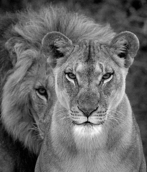 Magst du Lions