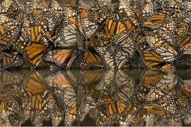 Le farfalle del Messico, i fenicotteri della Sardegna o le meduse di Palau: otto specie animali in viaggio per terra, cielo e acqua alla ricerca della sopravvivenza