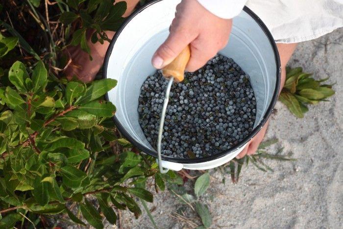 picking berries, DIY bayberry candles: Gardenista
