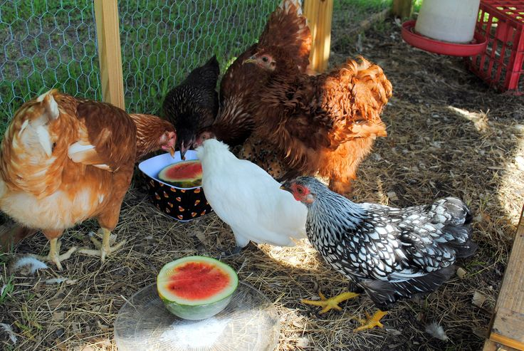 1000 images about i love chickens on pinterest raising for Can ducks and chickens share a coop