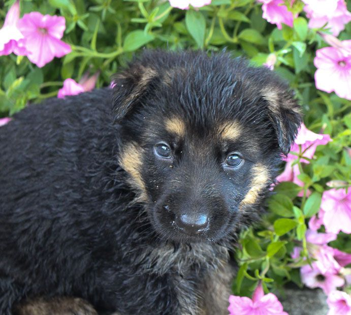 Sue Female Akc German Shepherd Pup Near Fort Wayne Indiana For