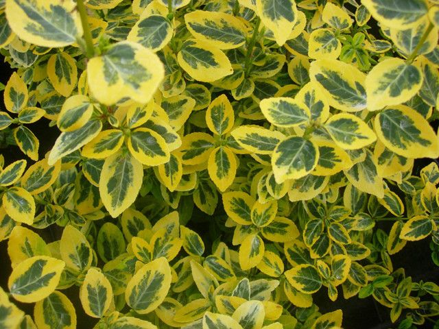 Euonymus - Emerald and Gold
