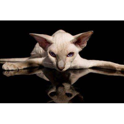 Gatos Peterbald ~ Peterbald Sphynx ~ Chamoise Y Velour - $ 15.500,00 en Mercado Libre