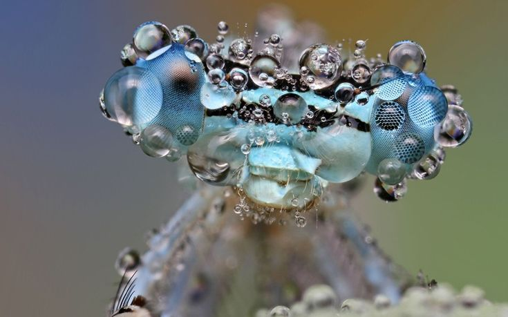 Blue damselfly getting wet