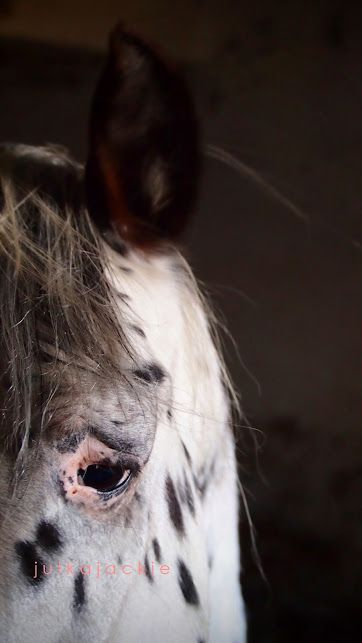 spotty stallion, Poland