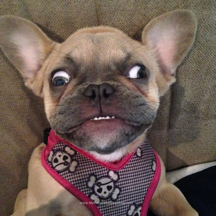25+ best ideas about Funny french bulldogs on Pinterest ...   736 x 736 jpeg 110kB