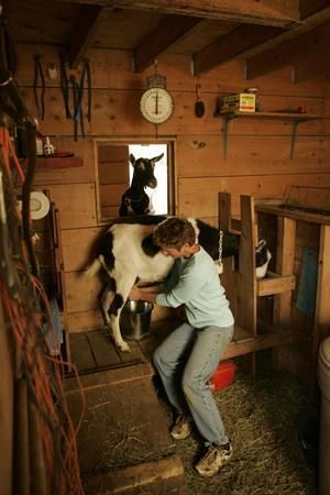 Raising dairy goats for your family's milk supply   Living the Country Life
