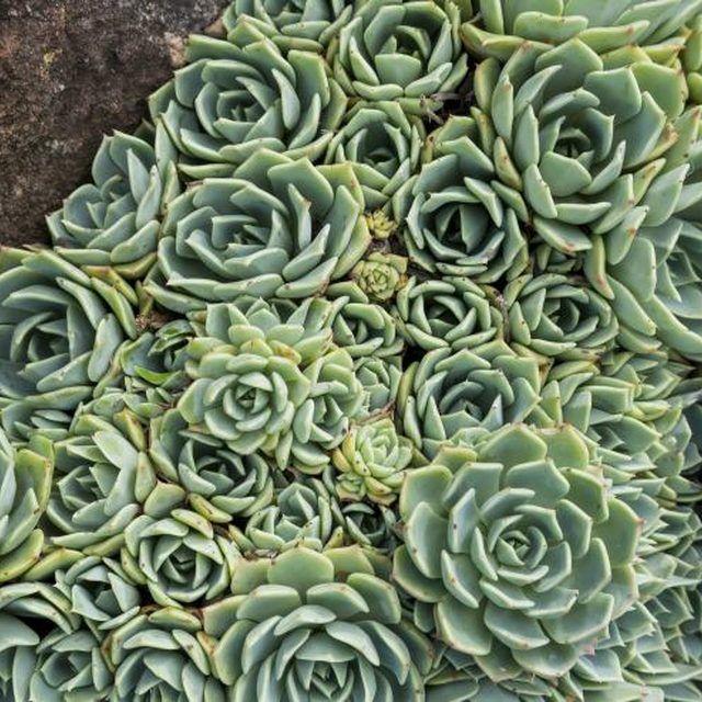 the 25 best transplant succulents ideas on pinterest replanting succulents succulents and. Black Bedroom Furniture Sets. Home Design Ideas