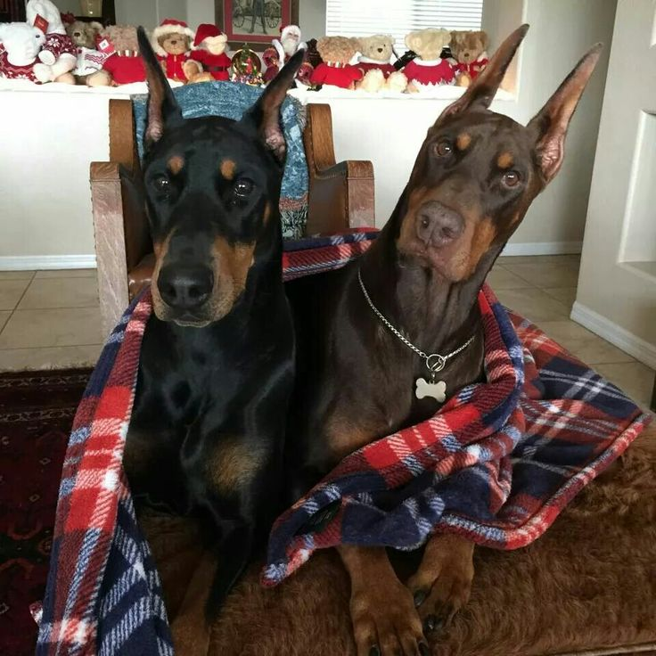 #Dobermans love this color combo!