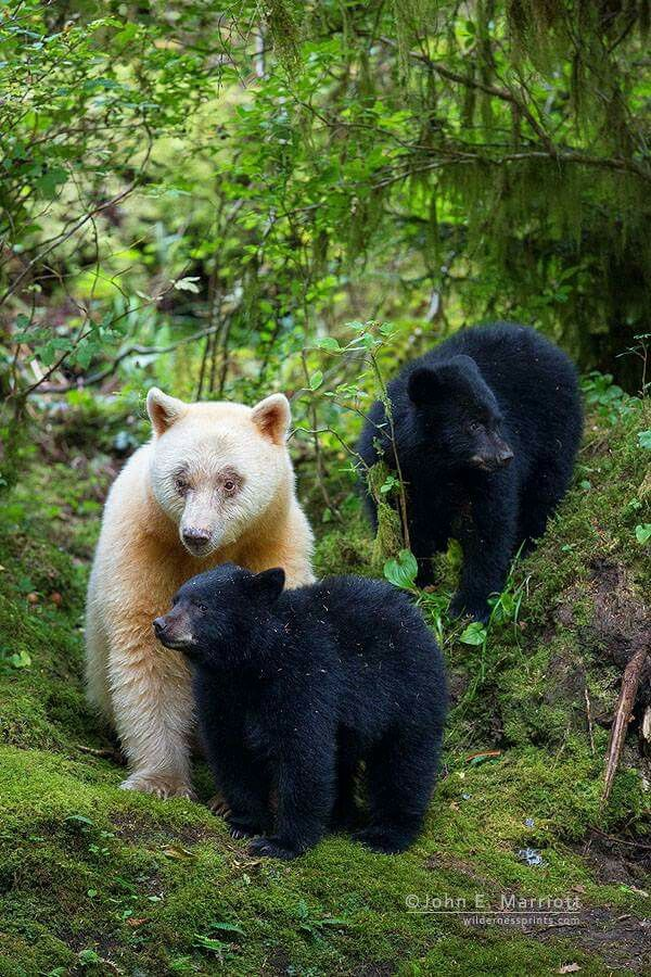 White Spirit Bear mother and two Black Bear Cubs (Ursus americanus kermodei) North America, Canada