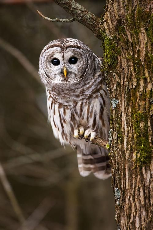 The Barred Owl (Strix varia) is a large typical owl native to North America. Best known as the Hoot Owl for its distinctive call, it goes by many other names, including Eight Hooter, Rain Owl, Wood Owl, and Striped Owl. Breeding habitats are dense woods across Canada, the eastern United States, and south to Mexico.