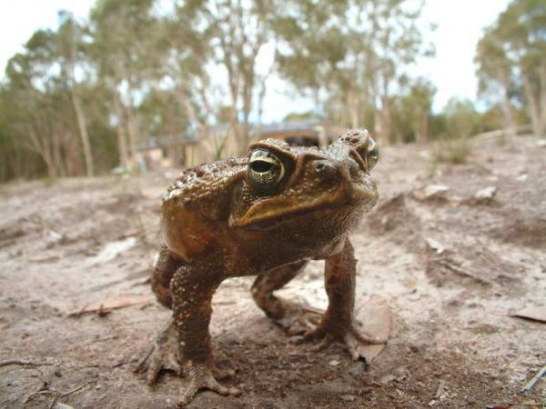 Cane Toad - First imported to Australia in the 1930s in an attempt to control sugar cane pests, these giant amphibians now number around 200 million. They prey on some native species and compete for food and territory with others. Toxic glands behind the toads' heads can kill native animals like endangered quolls (carnivorous marsupials). Credit: Dreamstime