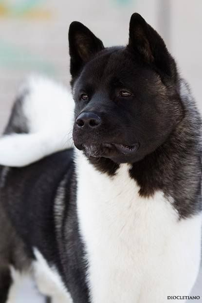 25 Best Ideas About Akita Dog On Pinterest Akita Akita