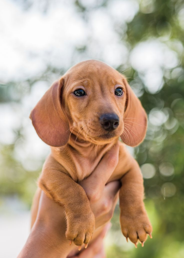 Breed Dachshund Gender Male Registry Akc Personality Fun