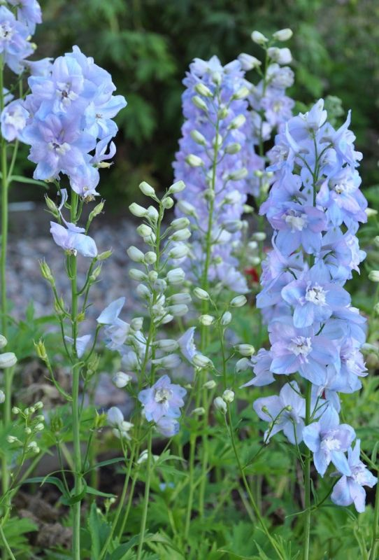 STOR RIDDARSPORRE F1 'Guardian Lavender' i gruppen Perenner hos Impecta Fröhandel (61712)