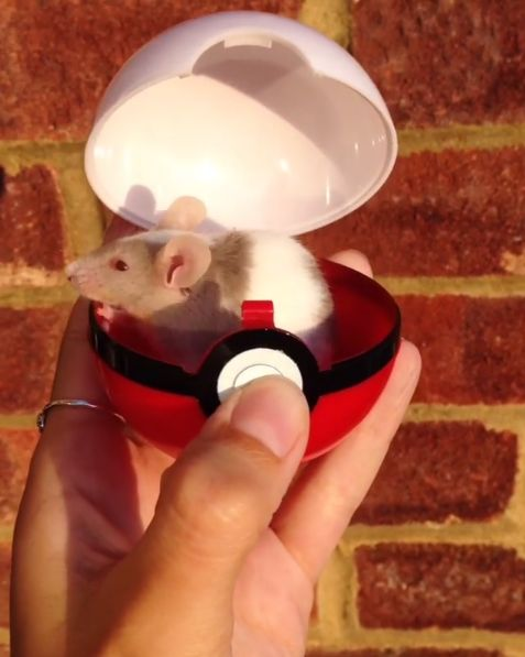 And now is the time to reflect upon little mice in Poké Balls. | 21 Small Animals That Deserve More Internet Love