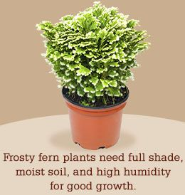 Frosty fern plant care tips