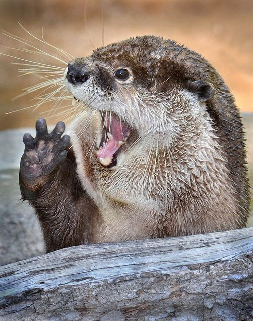 otter: Photos, Favorite Animals, Flickr, Cuteness, Animals Otter, Animals Really, Dis Otterly Conduct, Otterly Adorable