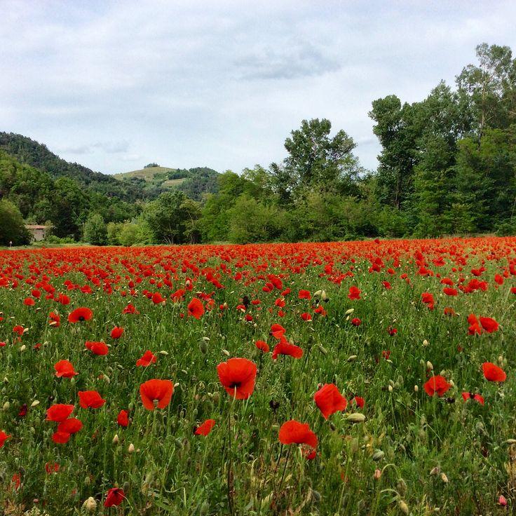 #Italy, Italia, Piemonte  En eng med Valmuer