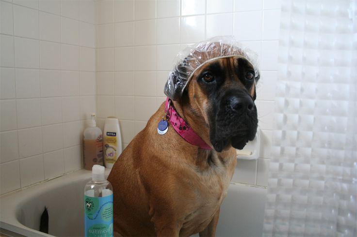 Пес и душ По счастью, многие собаки, в отличие от кошек, любят плавать, купаться и мыться. Но, как и у человека, при попадании в уши вода может вызвать воспаление. Чтобы избежать этого, нанеси на ватный тампон немного масла для детей и протри им уши домашнего животного. В качестве альтернативы, можешь каждый раз надевать на него шапочку для душа. Попробуй оба способа и выбери то, что будет удобнее.