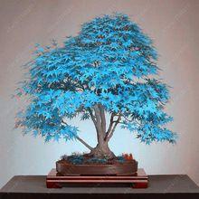 Inspirational  bonsai blau maple tree seeds Bonsai baum samen seltene sky blauen japanischen ahorn samen