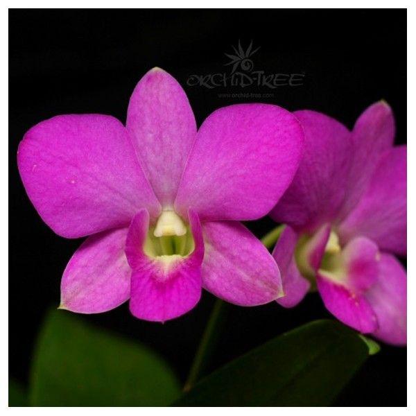Dendrobium Nopporn Pink Dendrobium Orchids Orchids Orchid Plants