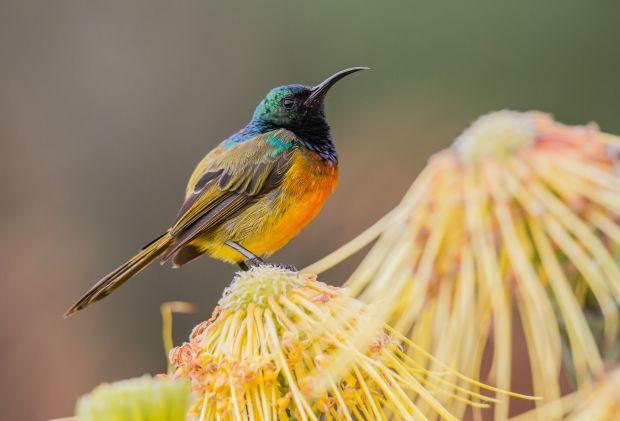 Orange-breasted sunbird, South Africa