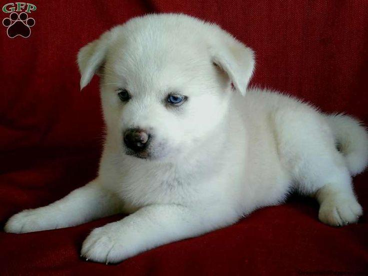 Pomsky Puppies For Sale In PA! | pets | Pinterest | Pomsky ...