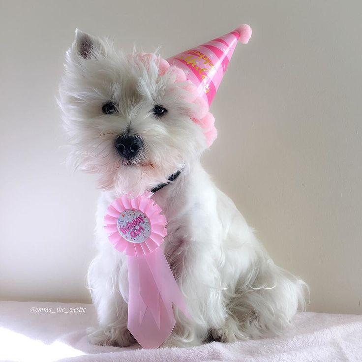 Happy Birthday To Me I M 3 Today By Emma The Westie