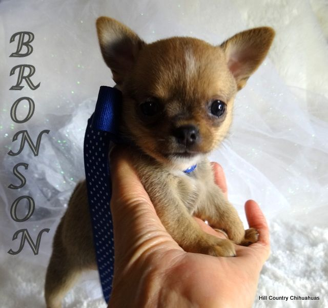 Puppies For Sale Puppies Chihuahua Puppies Chihuahua Puppies