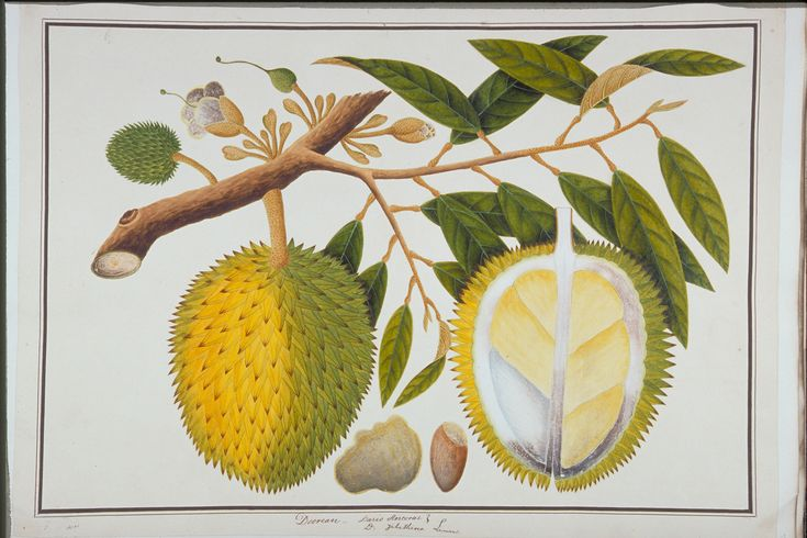 Durian, William Farquhar Collection of Natural History Drawings, Early 19th century, Watercolour on Paper, Collection of National Museum of Singapore, Gift of Mr. G. K. Goh.