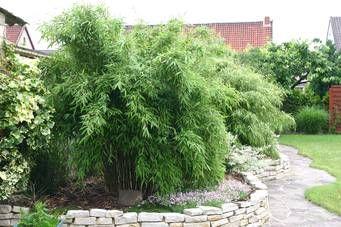 Bambus:Fargesia murielae (murieliae) 'Green Arrows' ®