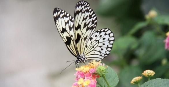 Tropische vlinders in de Noordoostpolder