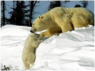 Su gruesa piel es de color blanco marrón y los protege del frío. Son animales muy poderosos y pueden llegar a pesar hasta 800 kg.