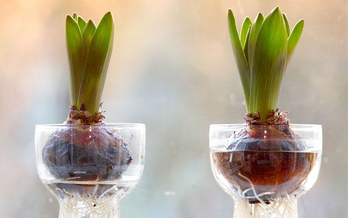 How to force spring bulbs in time for Christmas flowering - amazing Victorian forcing jars with hyacinths